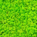 Reindeer moss wall, green wall decoration made of reindeer lichen. Green moss texture. seamless close up green moss texture